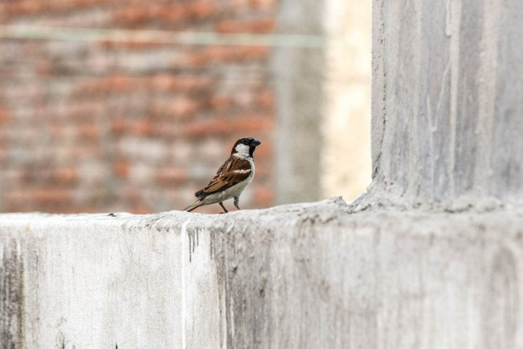 House Sparrow in Scotland (1)